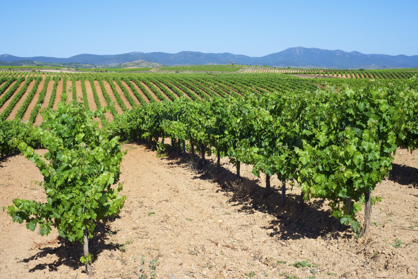 Where Does Carignan Come From