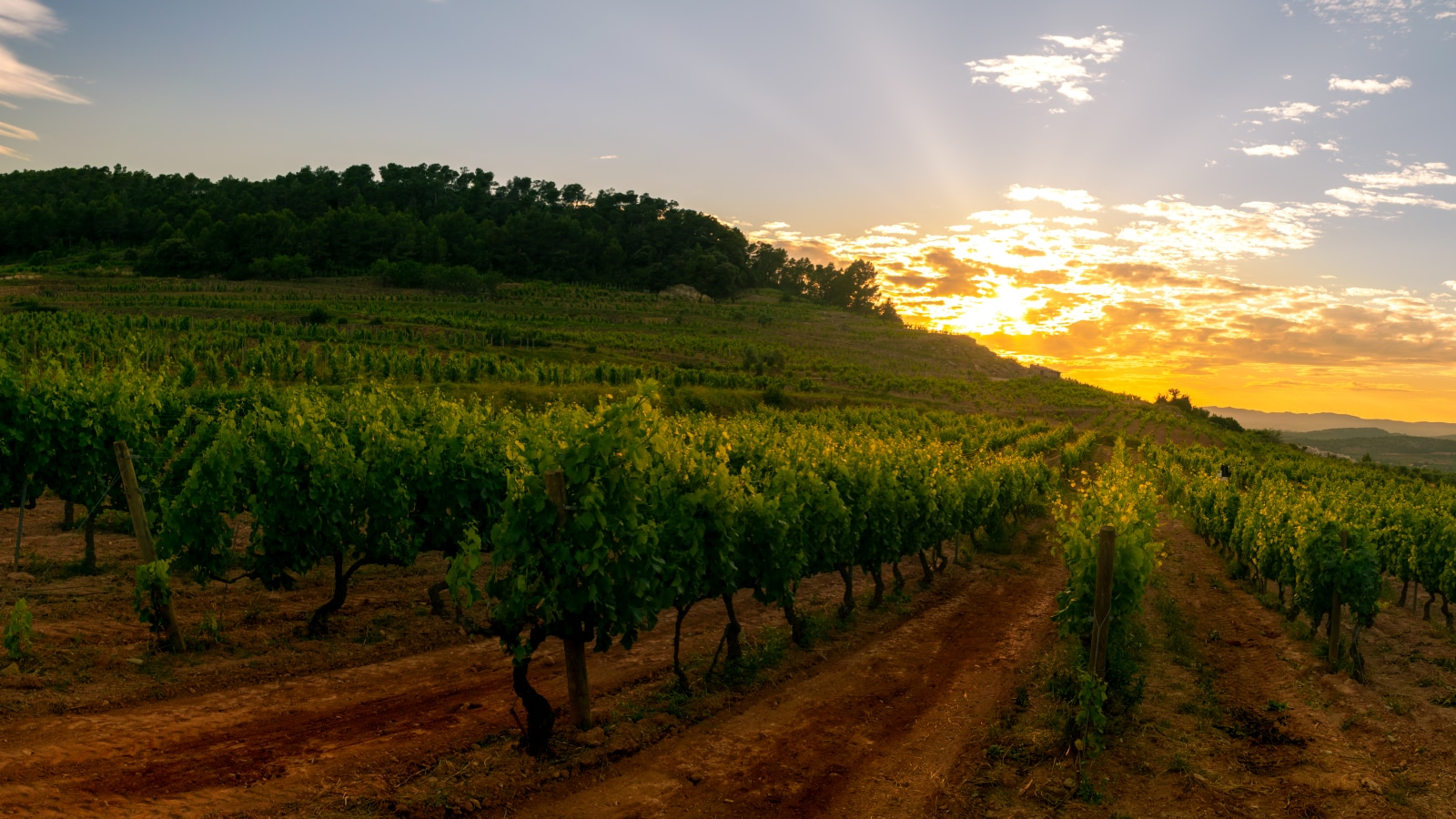 Where Does Grenache Blanc Come From