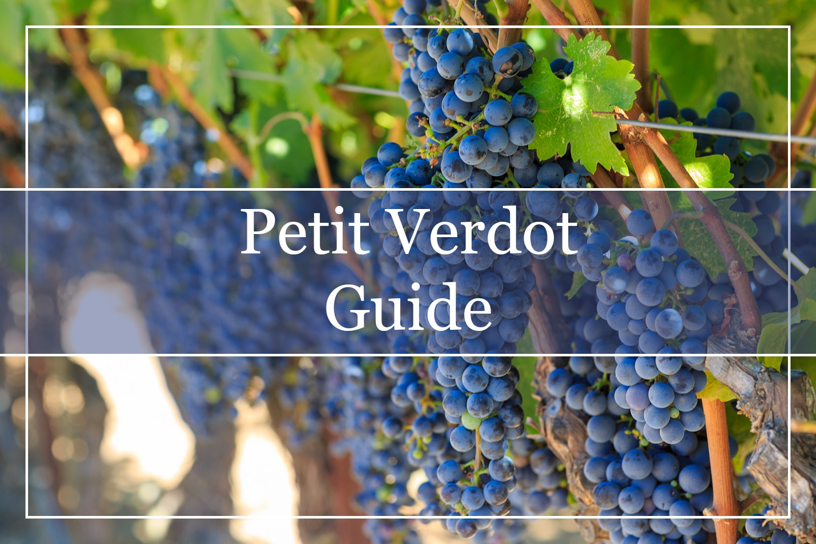 Petit Verdot Grapes
