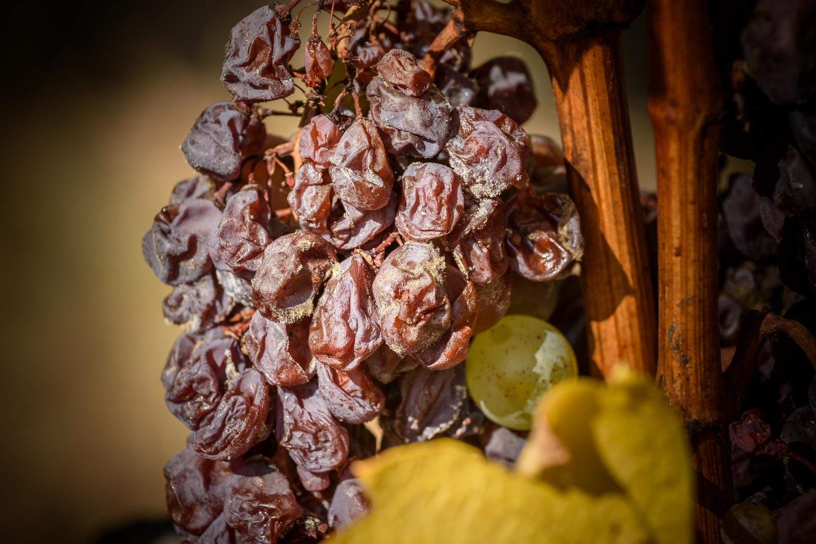 Botrytised Aszú Grape