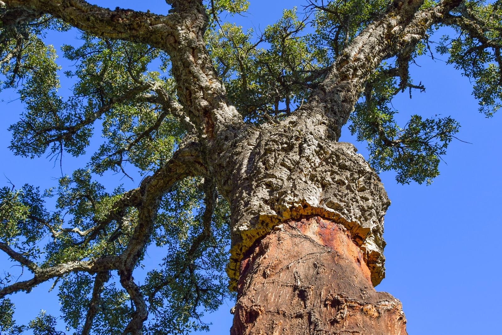 Corkwood Tree