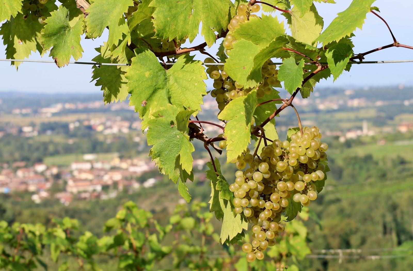 Friulano Grape, Also Known as Sauvignon Vert
