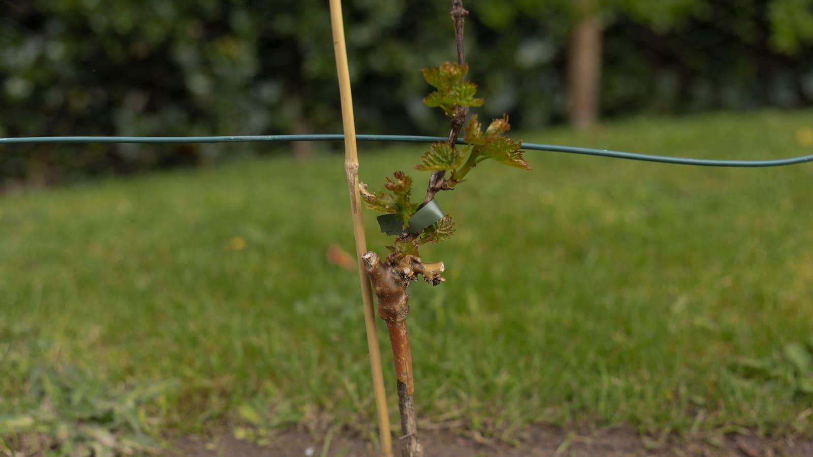 Grafted Vine