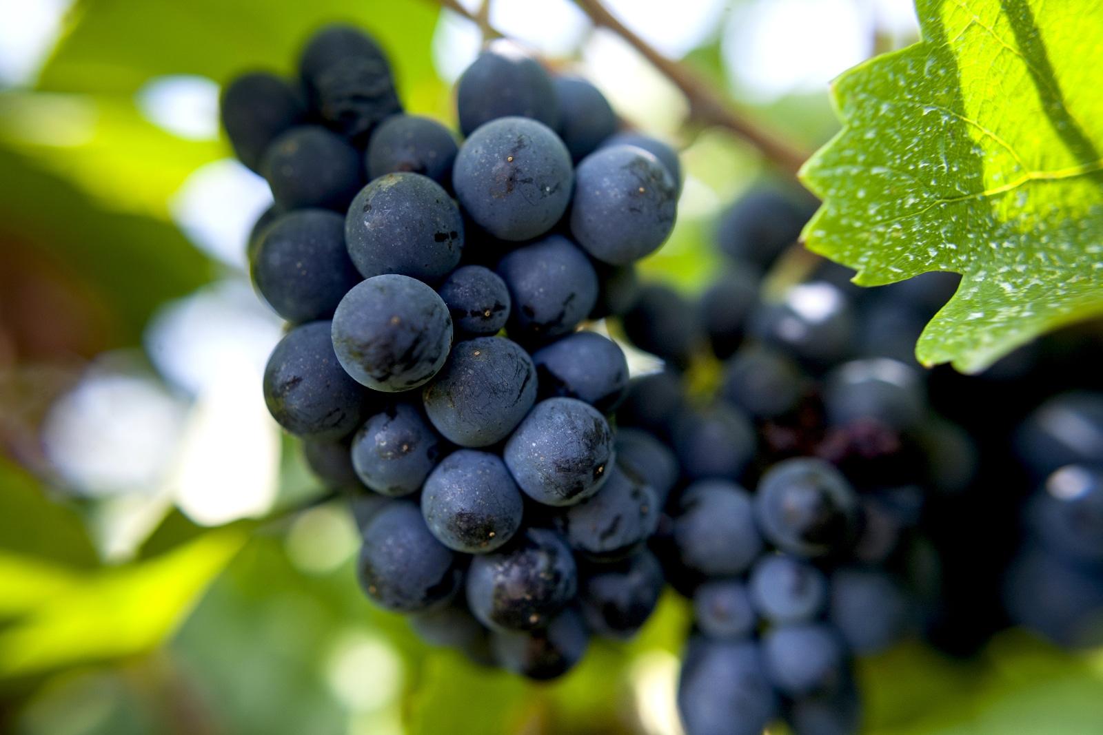 Pinot Noir Health Benefits