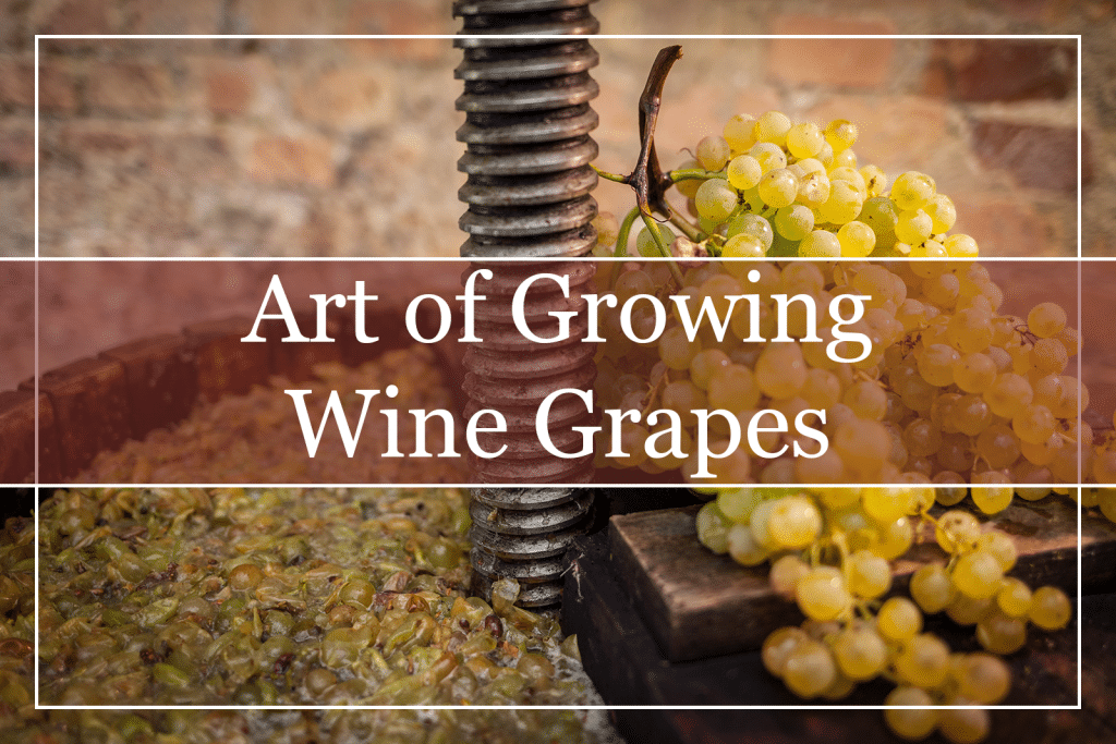 Viniculture - Art of Growing Wine Grapes