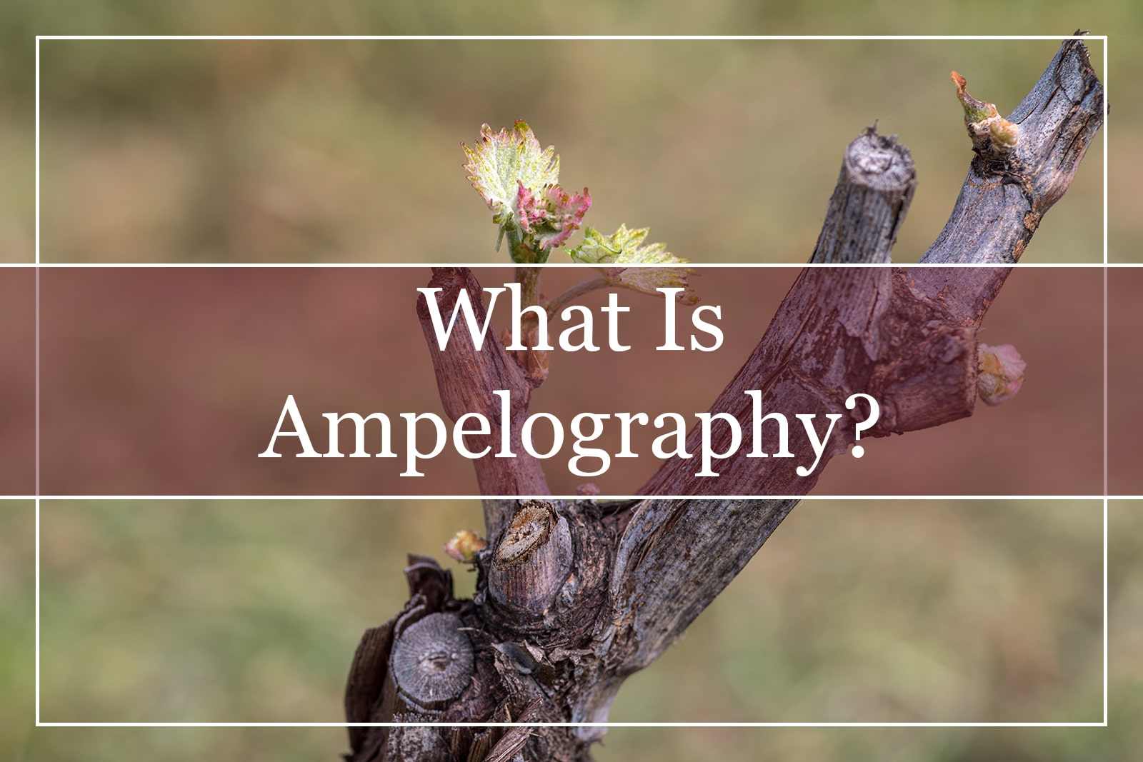 What Is Ampelography