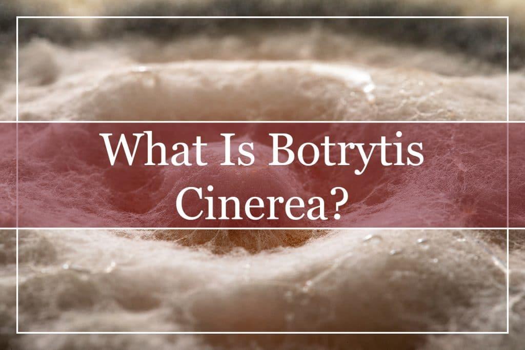 What Is Botrytis Cinerea