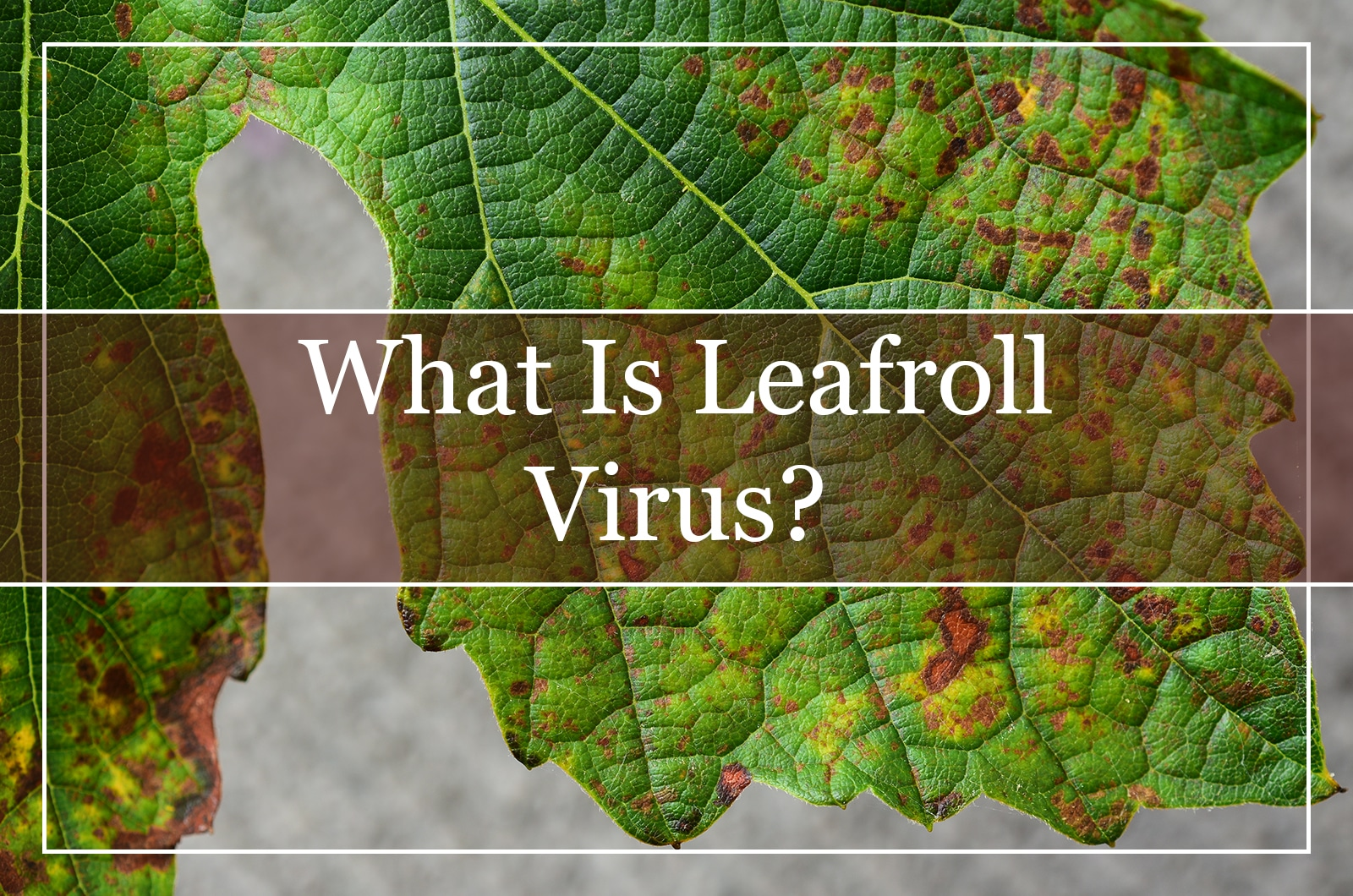 What Is Leafroll Virus