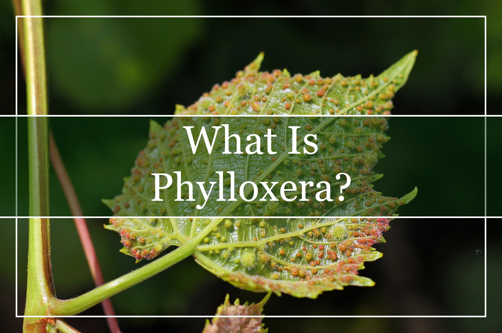 What Is Phylloxera