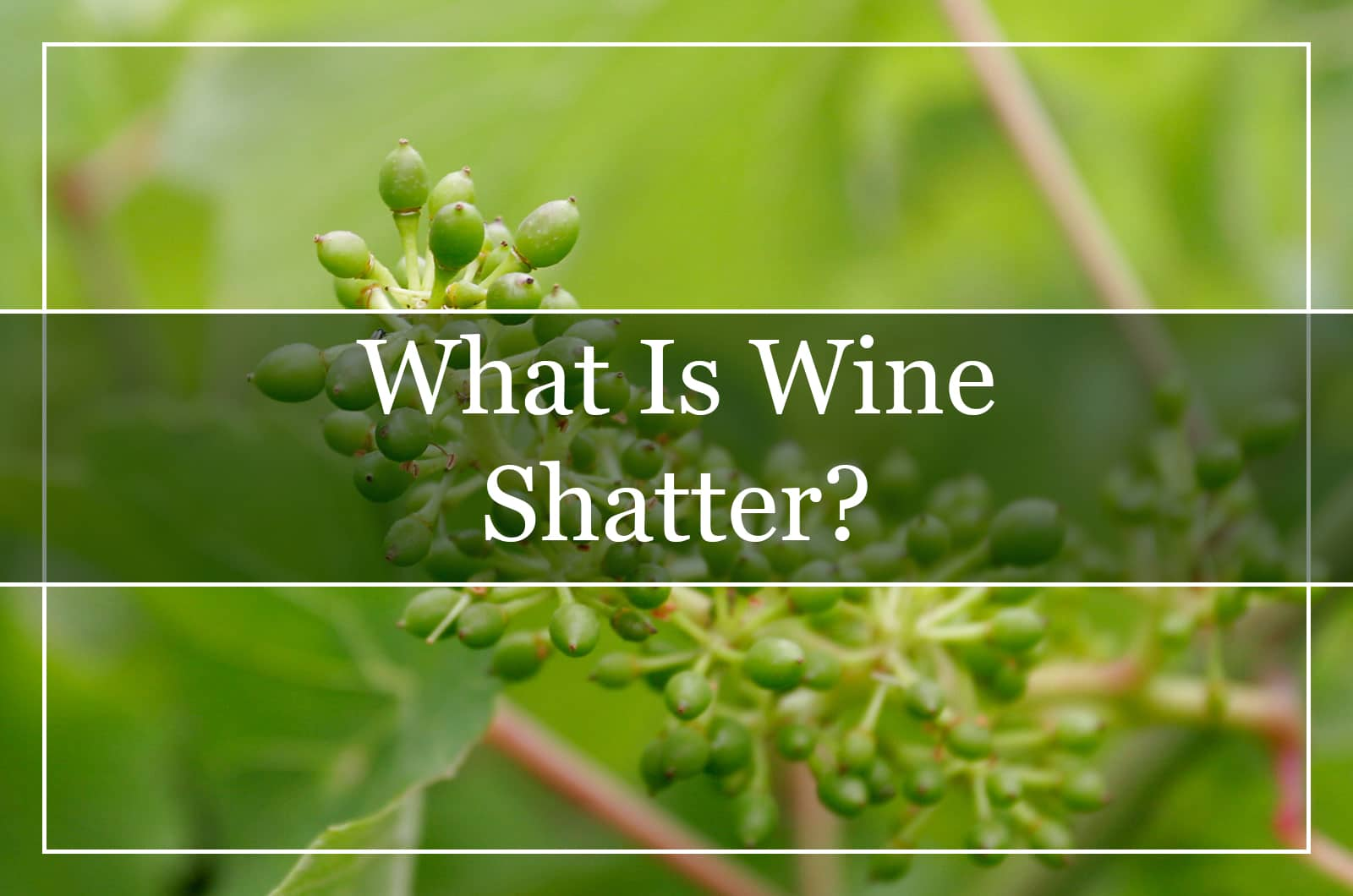 What Is Wine Shatter?